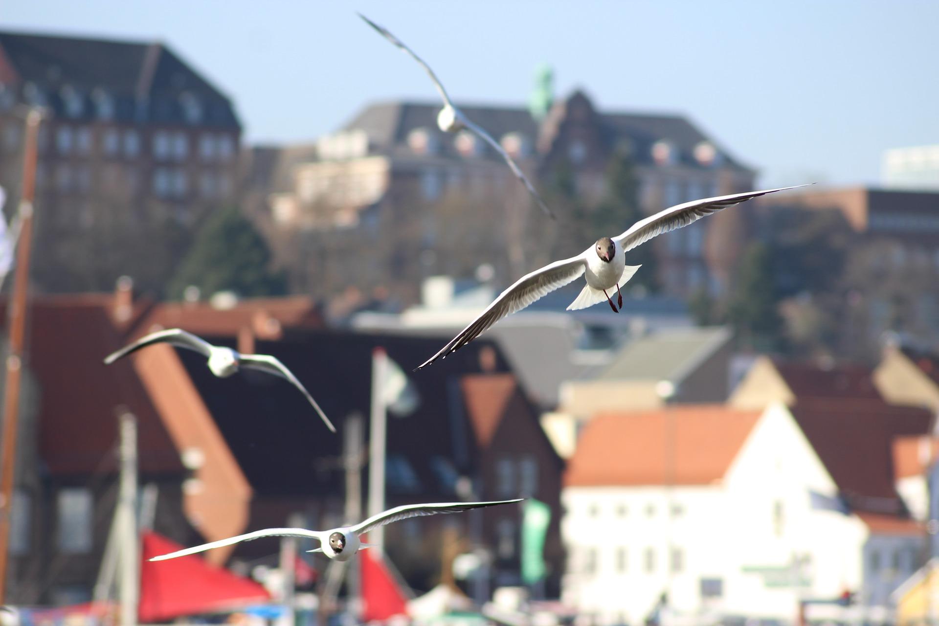 Möwen in Flensburg