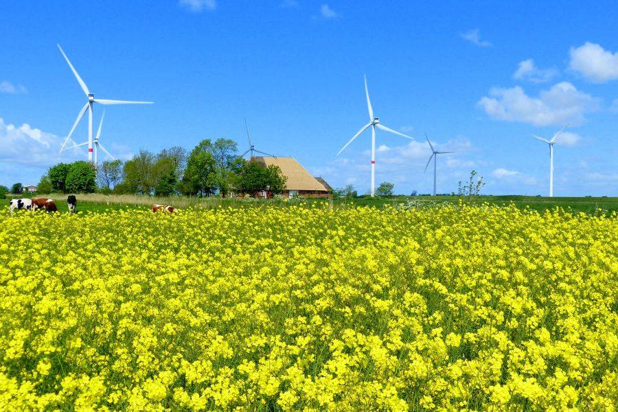 Rapsfeld mit Windkraftanlagen